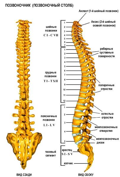 Анатомия: позвоночника