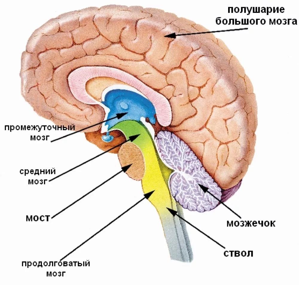 anatomicheskie-struktury-golovnogo-mozga